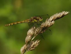 Common Darter - Nikki Mahadevan