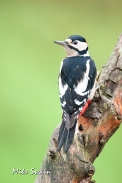 GS Woodpecker - Mike Swain