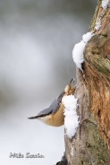 Nuthatch - Mike Swain
