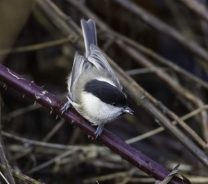 Willow Tit - Vernon Barker