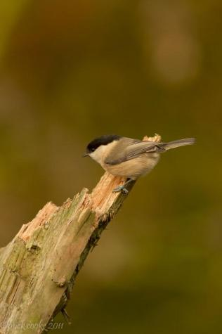 Willow Tit - Mick Cooke