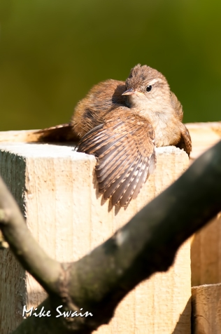 Sunbathing Wren - Mike Swain