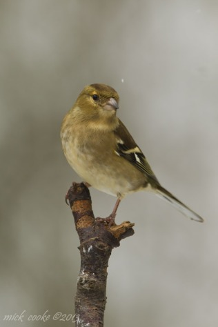 Chaffinch - Mick Cooke