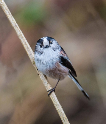 Long Tailed Tit - Vernon Barker