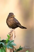 Female Blackbird - Mike Swain