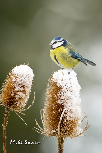 Blue Tit on Teasel - Mike Swain