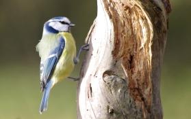 Blue Tit - Maurice Unwin