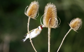 Goldfinch - Maurice Unwin