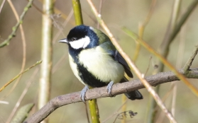 Great Tit - Maurice Unwin