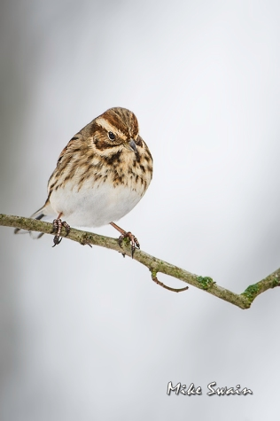 Female Reed Bunting - Mike Swain