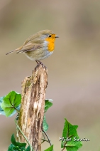 Robin on Ivy - Mike Swain