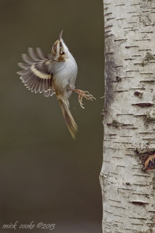 Treecreeper - Mick Cooke