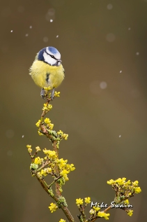 Blue Tit - Mike Swain