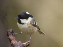 Coal Tit - Harry Ashton