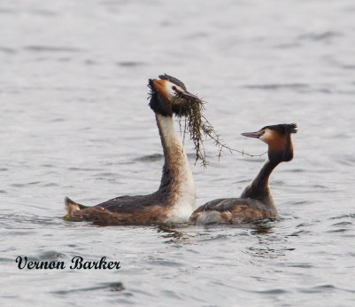 Great Crested Grebe - Vernon Barker