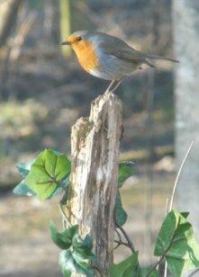 Robin - Fergus Worsey