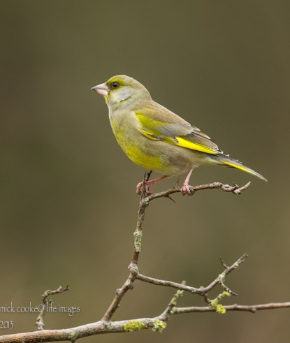 Greenfinch - Mick Cooke