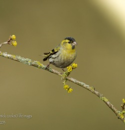 Siskin - Mick Cooke