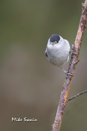Male Blackcap - Mike Swain