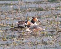 Great Creasted Grebes - Vernon Barker