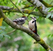 Woodpecker with Young - Fran Muldoon