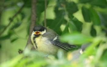 Juv Great Tit - Maurice Unwin