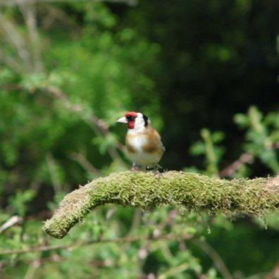 Goldfinch - Fergus Worsey