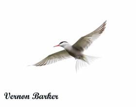Tern - Vernon Barker