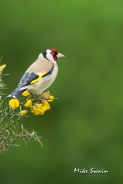 Goldfinch on Gorse - Mike Swain