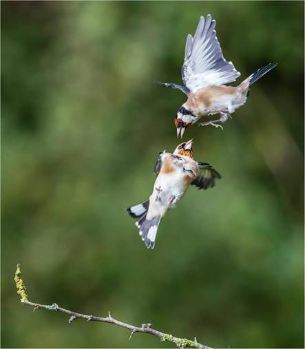 Goldfinch - Ian Trundell