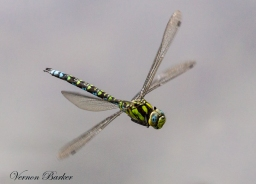 Southern Hawker - Vernon Barker