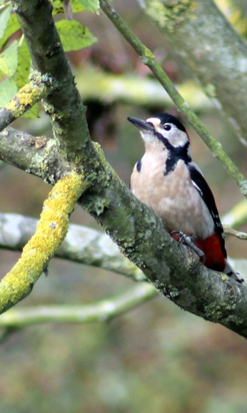 Greater Spotted Woodpecker - Harry Ashton