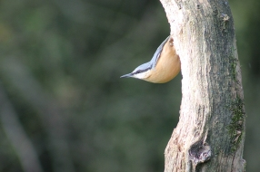 Nuthatch - Harry Ashton