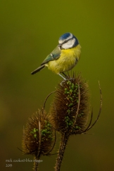 Blue Tit - Mick Cooke