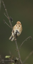 Female Reed Bunting - Mick Cooke