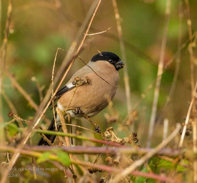 Female Bullfinch - Mick Cooke