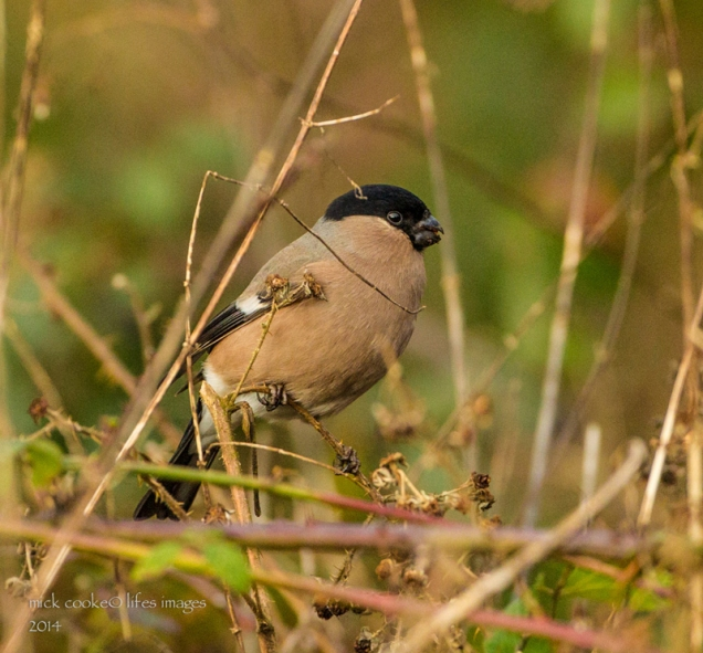 Female Bullfinch - Mick Cooke