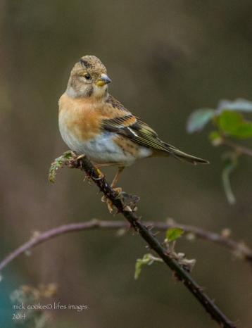 Brambling - Mick Cooke