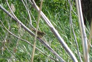 P1030449 grasshopper warbler